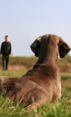 Gun dog training at distance in advanced dog training classes